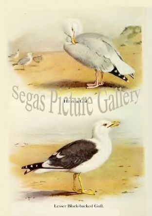 Herring-Gull & Lesser Black-backed Gull